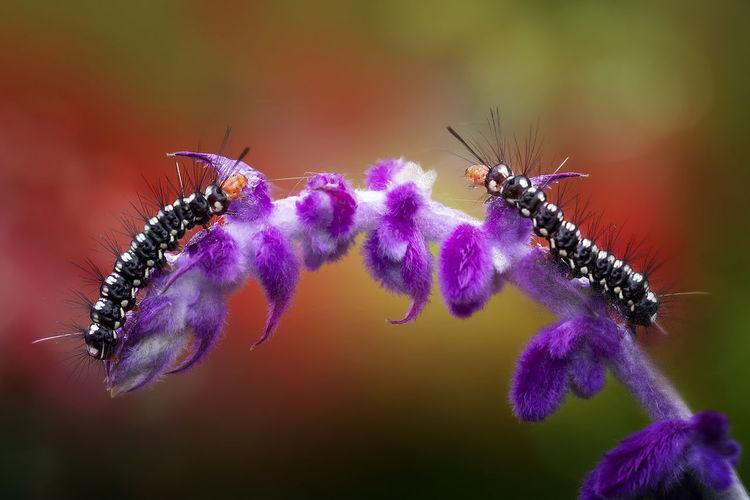 Close-up of caterpillars on purple flower