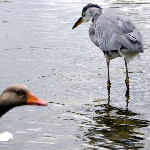 Mißtrauische Blicke... Schwanenteich Grey Goose EyeEm Selects EyeEm Deutschland Streamzoofamily For You ;-) PENTAX KP Bird Water Beak Close-up Gray Heron