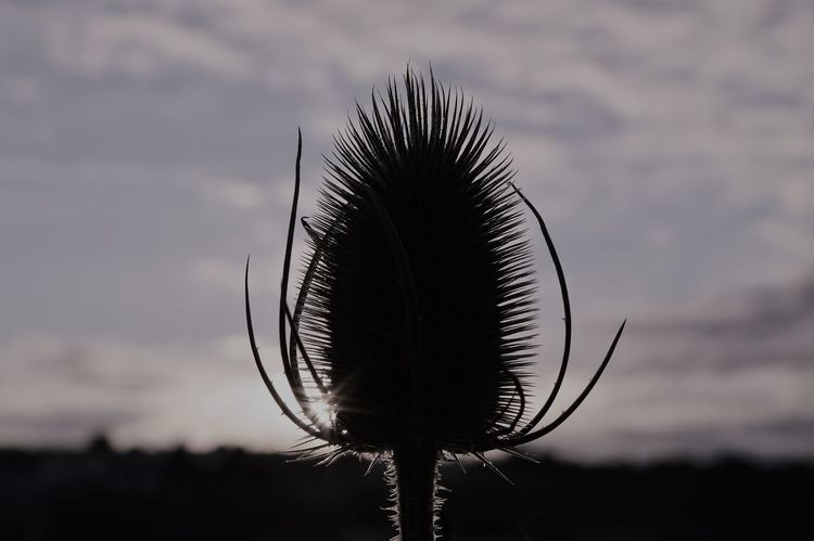 Teasels in the sunset - plymouth UK Beauty In Nature Close-up Close-up Nature Nature Nature_collection No People Outdoors Plants And Flowers Prickly Teasel