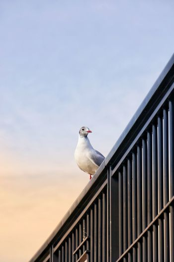 bird Bird City Perching Railing Sky Animal Themes Seagull Spread Wings Migrating