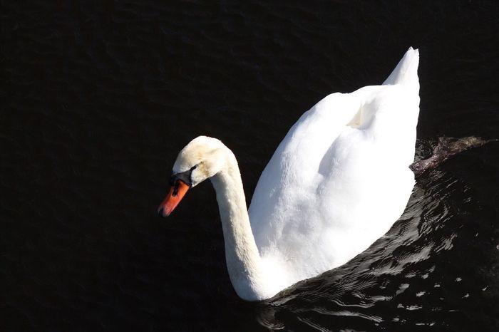 Swan Svan No People Outdoors Water Lake Magelungen Farsta Sweden Godaminnen Animal Bird Nature One Animal Animals In The Wild