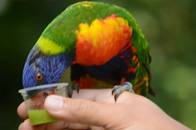 Human Hand Rainbow Lorikeet Parrot Multi Colored Bird Holding Close-up