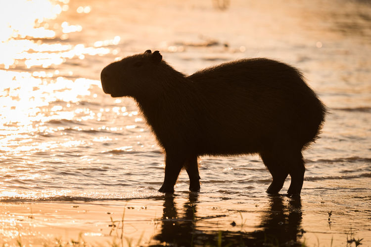 Side view of silhouette capybara on lakeshore during sunset