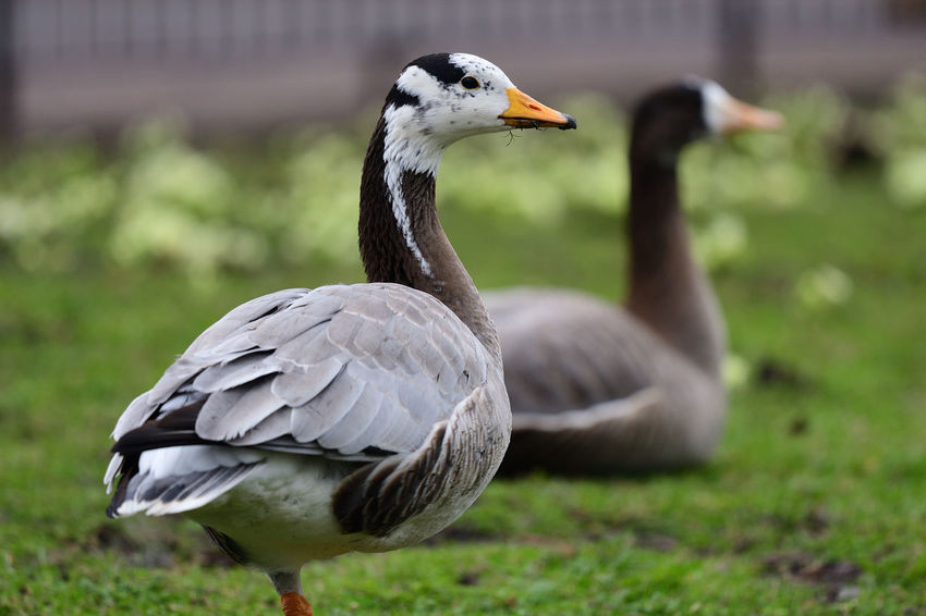 Animals In The Wild Bar Headed Goose, Check This Out EyeEm Best Shots EyeEm Nature Lover Grass Low Angle View Nature Nature Photography Taking Photos Animal Themes Animal Wildlife Beauty In Nature Bird Birds Close-up Day Focus On Foreground Goose Nature_collection No People Outdoors Portrait Selective Focus Wildlife