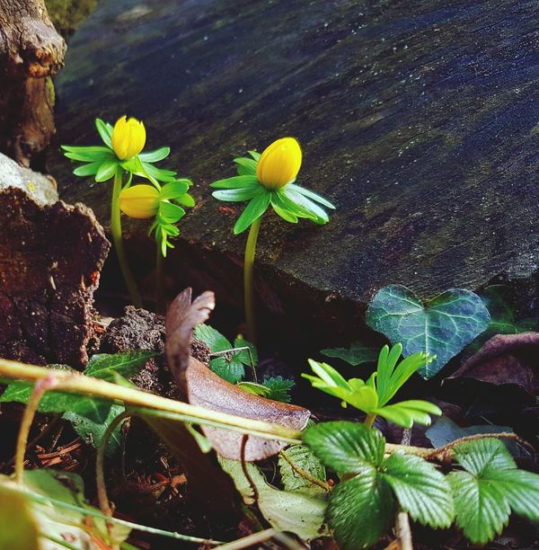 Winter Aconite Winterlinge Plant Leaf Nature Growth Flower Green Color Beauty In Nature Outdoors No People Day Flower Head Freshness Close-up Garden Photography Spring Flowers
