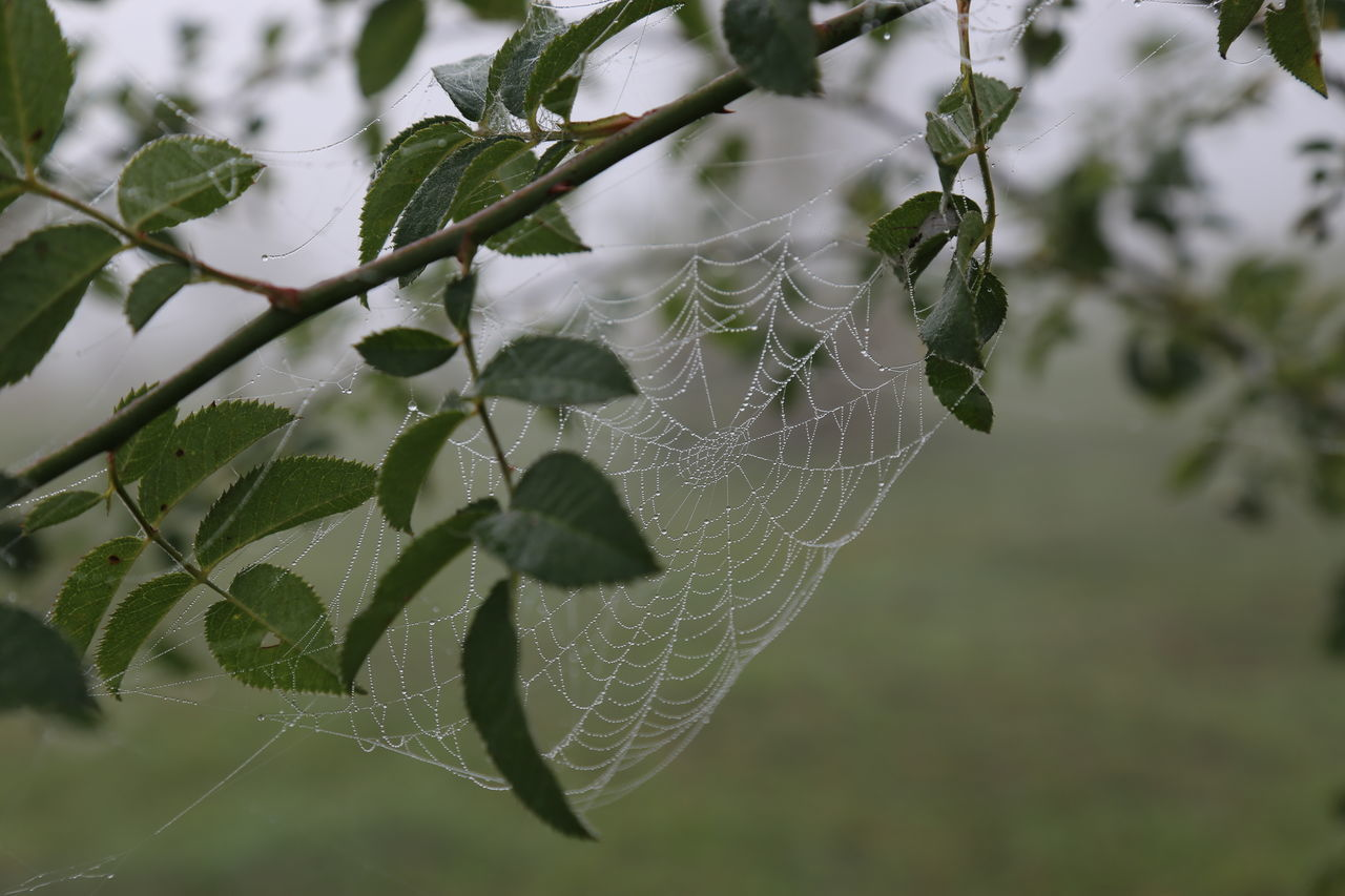 spider web, leaf, nature, focus on foreground, close-up, plant, outdoors, growth, day, no people, fragility, web, beauty in nature, freshness