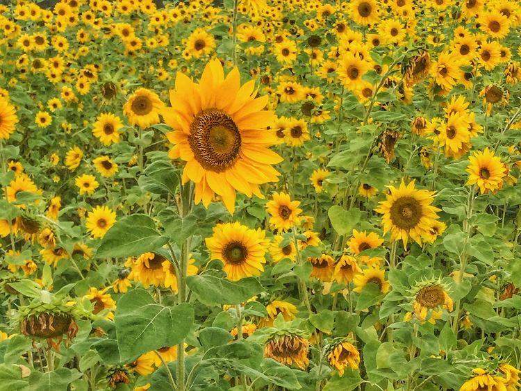 Field of sunflowers Sunflower Sunflowers🌻 Sunflowers Field Of Flowers Field Of Sunflowers Yellow Green Flowers Flower Farm Sunflower Oil Many Flowers Summer Sunshine