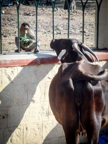 Friends? Cow Monkey King Food India Mysore Mysore, India