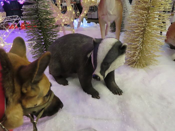 I'm not sure it's friendly? Guide Dog meets model badger Face Close-up Blind Photographer Christmas Decoration German Shepard Snow Scene  Badger Guide Dog Animal Animal Themes Group Of Animals Mammal Winter Cold Temperature Snow Pets No People Domestic Animals Nature Retail  Indoors  Holiday Moments