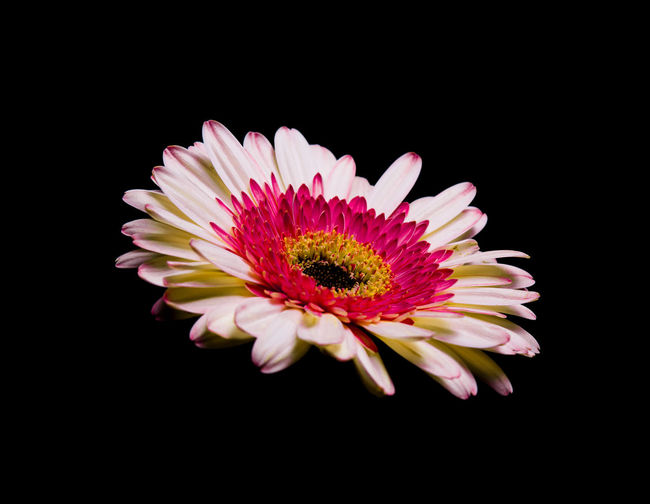 Flower Flowering Plant Petal Fragility Vulnerability  Studio Shot Inflorescence Flower Head Beauty In Nature Freshness Indoors  Pink Color Black Background No People Close-up Plant Growth Pollen Nature