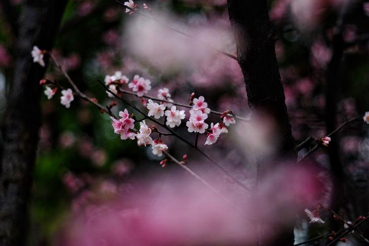 Tree Flower Branch Springtime Pink Color Blossom Close-up Sky Orchard Apple Tree Cherry Blossom Rhododendron Almond Tree Apple Blossom Stamen Botany Orange Tree Plum Blossom Pistil Pollen Twig In Bloom Fruit Tree Cherry Tree