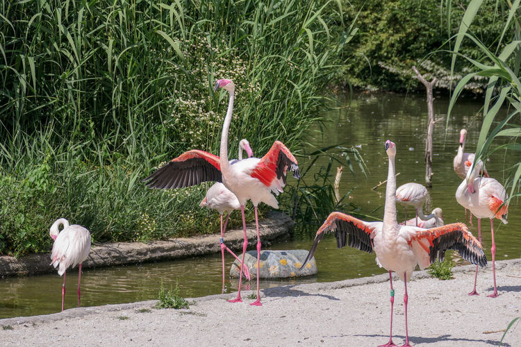 Flamingo Bird Water Spread Wings Lake Ibis Stork Pink Color Animal Themes Preening Pelican Flock Of Birds Flapping Water Bird Crane - Bird Freshwater Bird Large Group Of Animals Mute Swan Colony White Stork Swan Migrating Feather  Hummingbird Peacock Feather Beak Avian