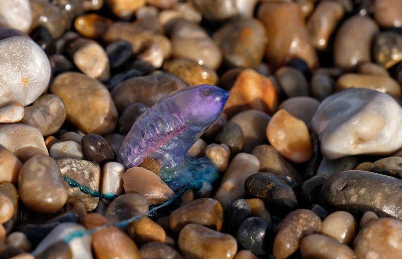 Portuguese man 'o war - Branscombe Beach, Devon. Cnidaria Man O War Pebble Beach Portuguese Man O' War Tentacles Beach Beach Scene  Beauty In Nature Blue Bottle Close-up Colourful Nature Day Floating Terror Jellyfish Marine No People Portuguese Man Of War Sting Translucent Venomous Washed Ashore Washed Up Devon Physalia Physalis Perspectives On Nature