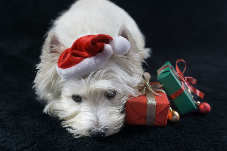 Christmas Hat Christmas Hat Presents Studio West Highland Terrier Animal Themes Black Background Christmas Close-up Day Dog Domestic Animals Gifts Indoors  Mammal No People One Animal Pets Red Santa Hat Santas Hat West Highland White Terrier Westhighlandwhiteterrier Westie