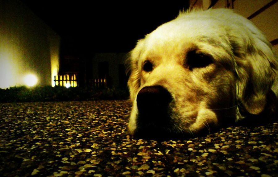 Golden Retriever Goldenretriever Relaxing Dog Posing Dogs Dog Love Dogslife Doglife Mans Best Friend