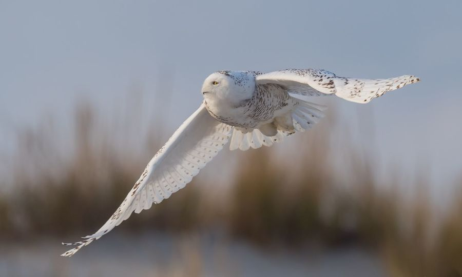 Snowy owl in flight New Jersey Island Beach State Park Flight Owl Snowy Day Nature Outdoors No People Animal Wildlife Animals In The Wild Close-up Water Animal Themes Sky Spread Wings Bird Of Prey Flying Bird