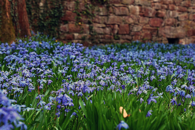 Grass Growth Nature Wall Beauty In Nature Blue Contrast Flora Flower Head Flowers Fragility Growth Low Vantage Point Many Flowers Nature No People Outdoors Plant Purple Stones