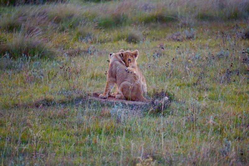 Lion cubs relaxing on grassland