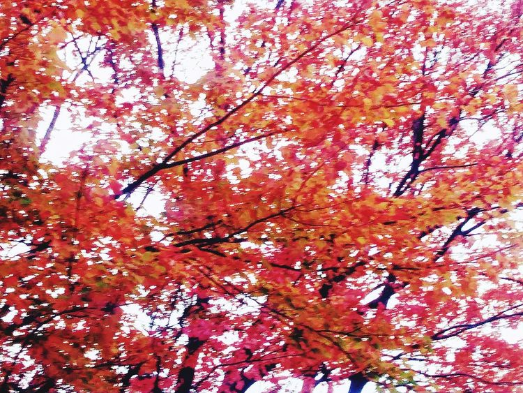 A tree with red & yellow leaves during the fall colors season 2017. Nature Beauty In Nature Red Outdoors Low Angle View Tree Seasonal Seasonal Photography Seasonal Change Seasonal Photography Nature Photography Nature Photos🐾 ©@wlliampresley Autumn Leaf Nature Low Angle View Tree Beauty In Nature Foilage ©w Presley Nature Shots Nature Collection Scenics Autumn Foilage