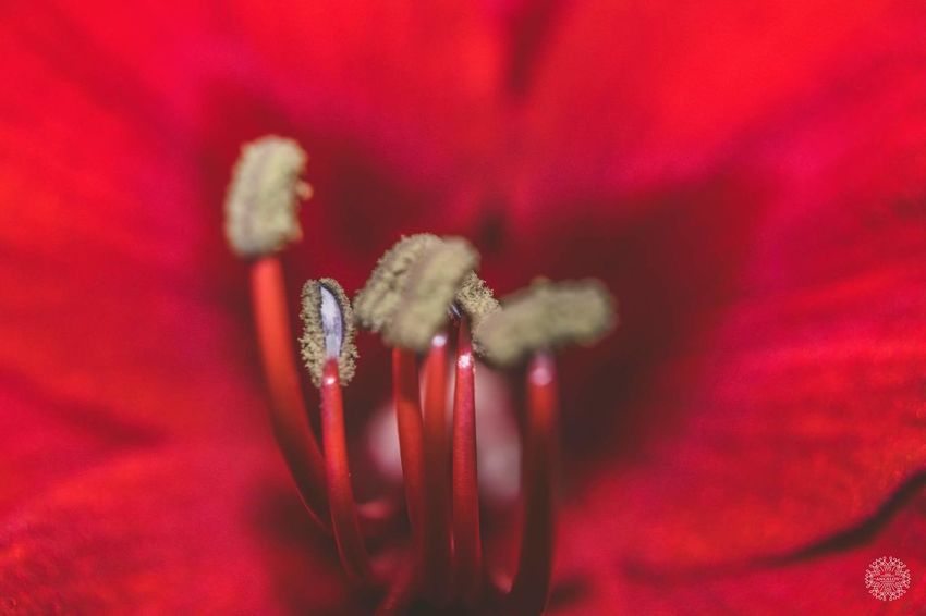 Flower Red Nature Beauty In Nature Close-up Flower Head Vscocam Love Plant No People