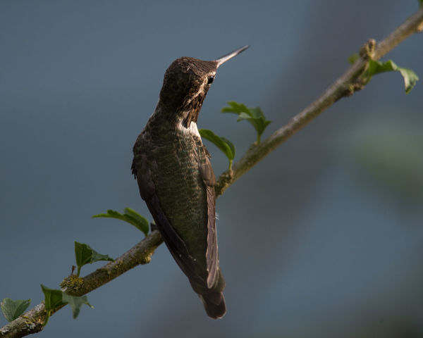 Annas Hummingbird Calm Calmness EyeEm Best Shots EyeEm Nature Lover EyeEm Gallery Stil Tree Animal Themes Animal Wildlife Animals In The Wild Beauty In Nature Bird Branch Close-up Day Focus On Foreground Hummingbird Minimalism Nature No People One Animal Outdoors Perching Tree