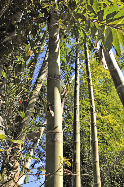 Beautiful Nature Follow The Lines ... My Eyes On MYanmar Nature Photography Bamboo - Plant Grouth Near To Loikaw Sky While Looking Up