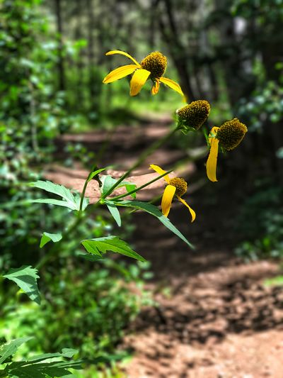 He Loves Me ........ Borrego Trail Coneflowers Late Summer Colours Sangre De Cristo Range Beauty In Nature Close-up Day Flower Flower Head Fragility Freshness Green Color Growth Hiking Trail Nature No People Outdoors Petal Plant Yellow