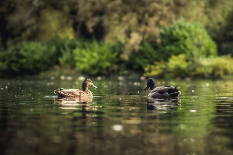 Found On The Roll Ducks Love Dublin Ireland St Stephen's Green Water Two Is Better Than One