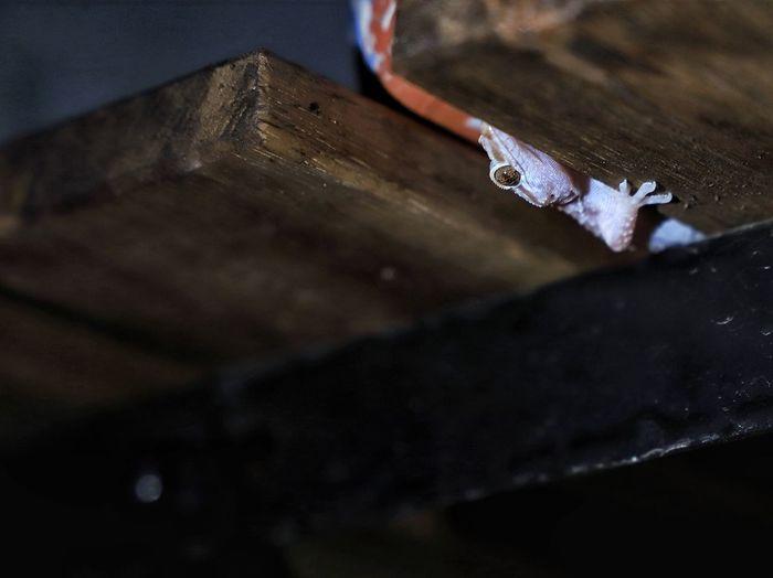 Croatian gecko climbin underneath a coffee table