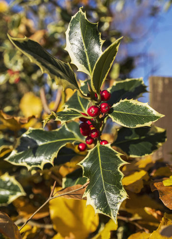 Holly with fruit Autumn Berries Holly Plant Red Winter Beauty In Nature Branch Day Fruit Growth Leaf Nature No People Outdoors Seasons Tree