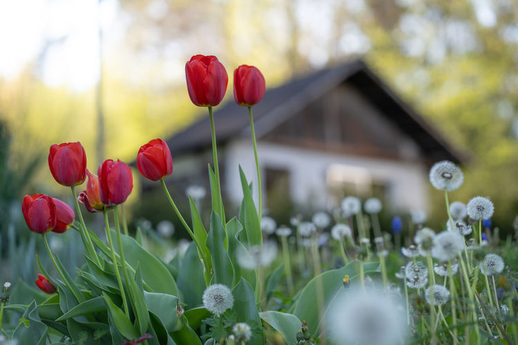 https://youtu.be/KMSa_xb2h5U Flower Flowering Plant Plant Beauty In Nature Freshness Growth Fragility Vulnerability  Close-up Nature Tulip Focus On Foreground Land Petal Red Day No People Inflorescence Flower Head Selective Focus Outdoors