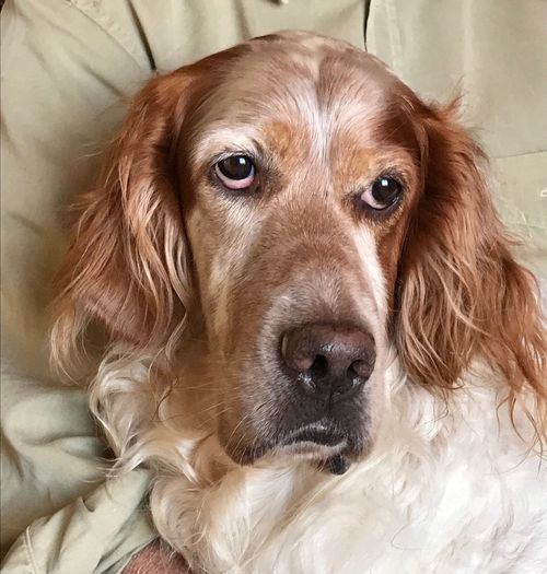 Dog Domestic Animals One Animal Portrait Animal Themes No People Indoors  Looking At Camera My English Setter English Setter Pets