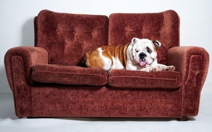 Cozy Sofa Dog Comfortable One Animal Pets Armchair Home Interior No People Indoors  EyeEmNewHere Domestic Life Couch Animal Themes Mammal