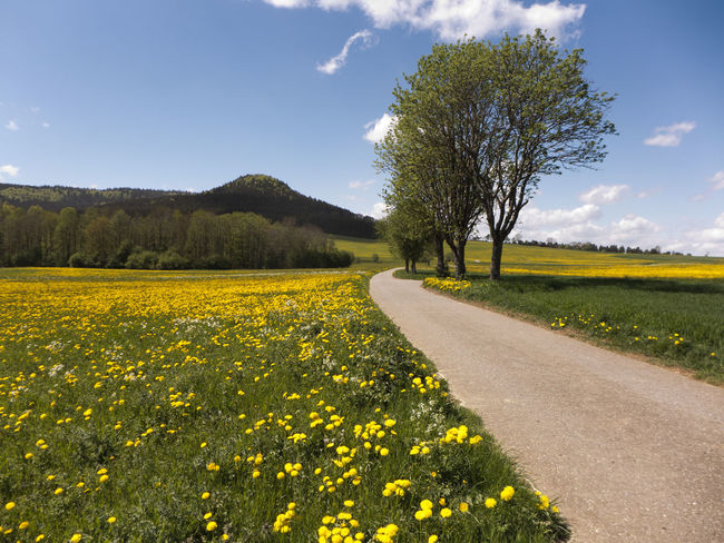 Spring on the Swabian Alb in the south of Germany. Large meadows full of flowering dandelions. A sea in yellow. Albsteig Hiking Pasture Beauty In Nature Dandelion Direction Environment Field Flower Flowering Plant Growth Hiking Trail Land Landscape Meadow Nature No People Plant Road Rural Scene Scenics - Nature Schwäbische Alb Sky Springtime Yellow
