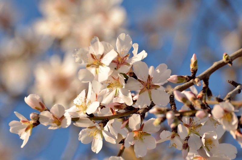 Close-up of white almond flowers