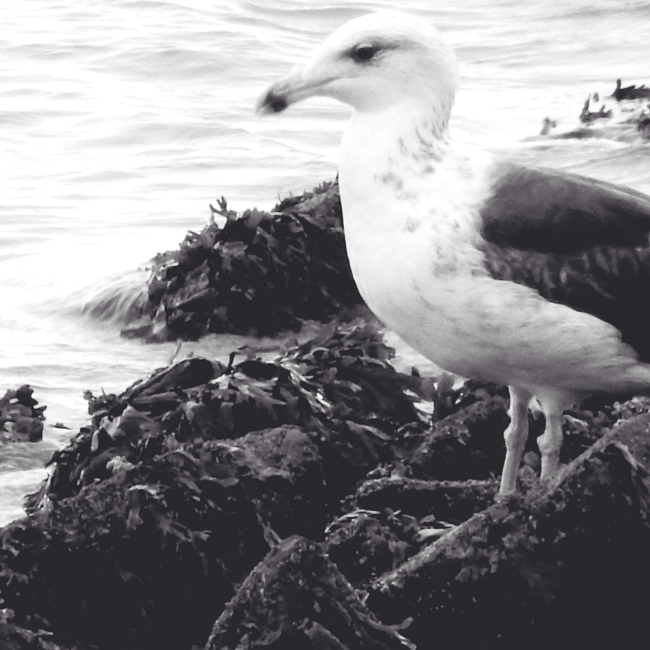 animal themes, bird, animals in the wild, wildlife, one animal, water, nature, beak, seagull, two animals, sea, outdoors, close-up, day, sunlight, rock - object, lake, no people, zoology, swan