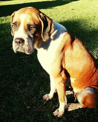 Olhos cor de mel Lica Sweet Friend Pets Dog Boxer - Dog