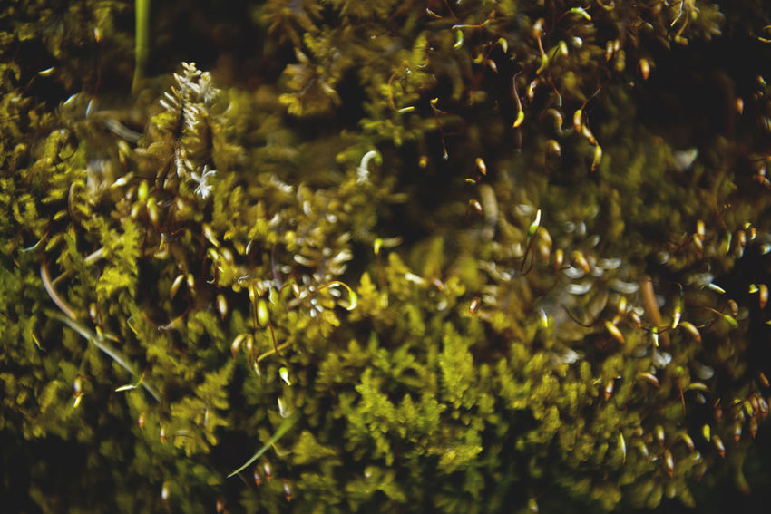 Botanical series: Micrology Alpen-Widertonmoos Alpine Frauenhaarmoos Green Growth Micro Nature Moss & Lichen Plants Polytrichastrum Alpinum Polytrichum Strictum Alpine Haircap Alpine Polytrichastrum Moss Alps Beauty In Nature Beauty In Nature Botanical Close-up Flowers Freshness Green Color Growth Micrology Mini Moss Mountain Plants