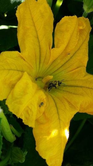 Bee inside a Pumpkin Blossom Blossom Pumpkin Blossom Bee Polination Nature Nature's Diversities Nature Is Art Flower Agriculture Alternative Agriculture Color Of Life Color Palette