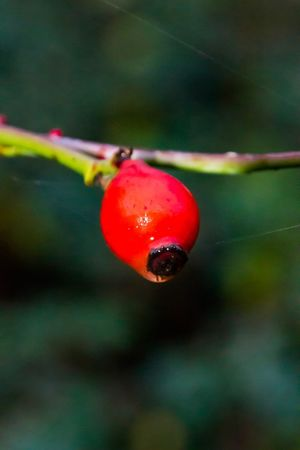 Natürlich EyeEm Nature Lover EyeEm Best Shots EyeEm Selects EyeEm Gallery Red Fruit Close-up Focus On Foreground Food And Drink Healthy Eating No People Outdoors Freshness Nature Growth Berry Fruit Twig Plant Stem Beetle Food Plant Day Rose Hip