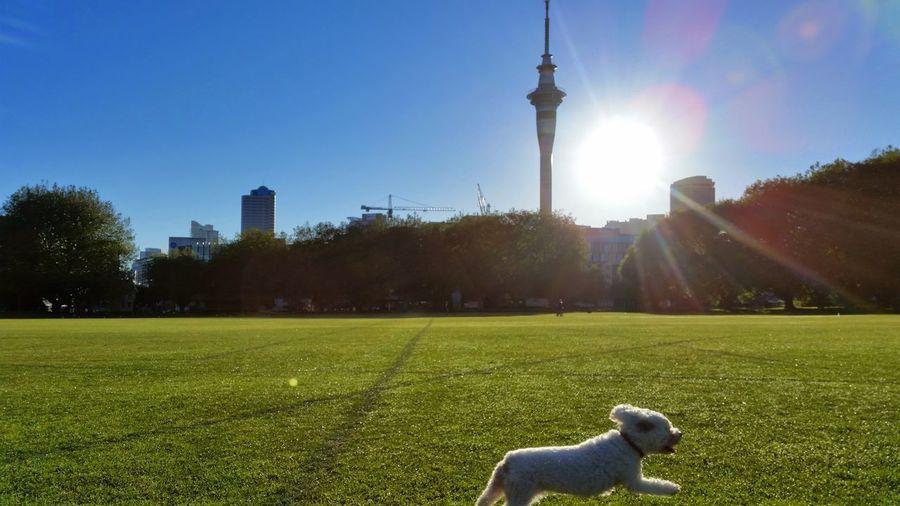 Morning Dog Sky Tower Urban Skyline SkyTower Grass