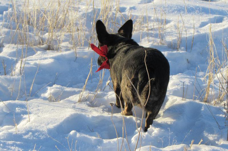 Pembroke welsh corgi walking in snow covered field