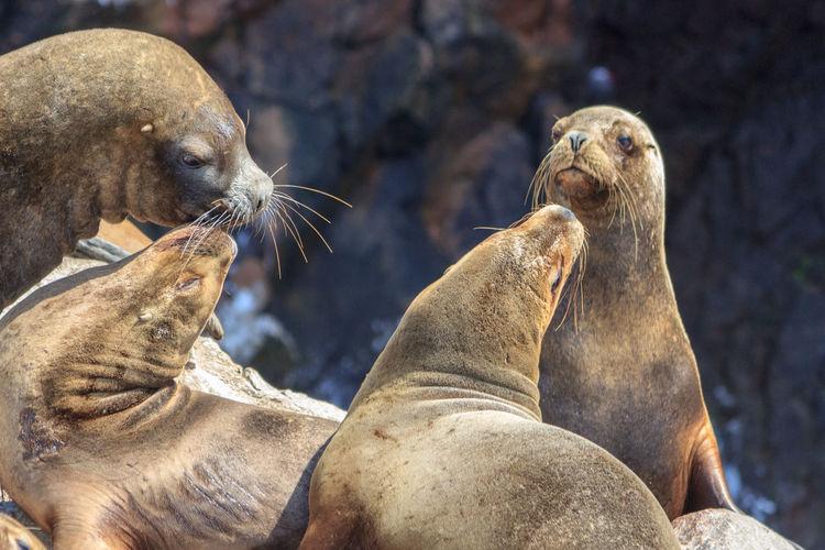Sea lion relaxing on rock