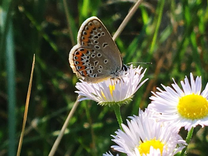 Flower Insect Animals In The Wild One Animal Fragility Animal Themes Butterfly - Insect Nature Beauty In Nature Close-up No People Plant Day Animal Wildlife Butterfly Focus On Foreground Petal Freshness Growth Outdoors Butterfly ❤ Butterflies Beauty In Nature EyeEm Selects EyeEmNewHere