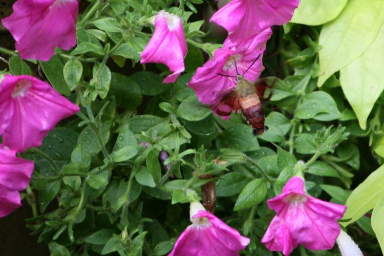 Look closely. It's a Hummingbird Clearwing Moth. I have never seen one in person before. I was so excited to have one in my own front yard!!! Hiding In Plain Sight Hummingbird Clearwing Moth No Filters Or Effects Beauty In Nature Blooming Camoflauge Bugs Close-up Day Flower Flower Head Flying Bugs Fragility Freshness Green Color Growth Leaf Nature No People Outdoors Petal Petunia Pink Color Plant Purple Sweet Potatoe Vine