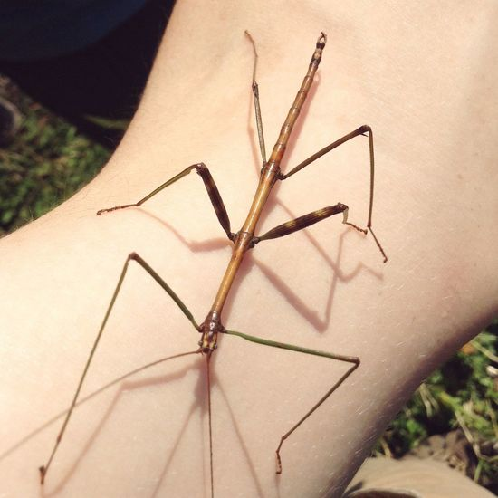 Stick Bug Mantis Bug Arm Stick Bug Insect Invertebrate Animal Wildlife One Animal Animals In The Wild Close-up Human Body Part Focus On Foreground Nature Plant Outdoors Human Hand Day