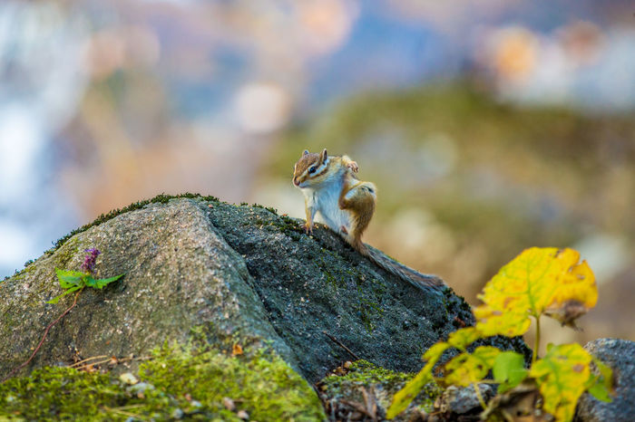 A chipmunk is eating on a rock. Seoraksan National Park Animal Themes Animal Wildlife Animals In The Wild Chipmunk Chipmunk Photography Close-up Day Mammal Moss Nature No People One Animal Outdoors Seoraksan Squirrel