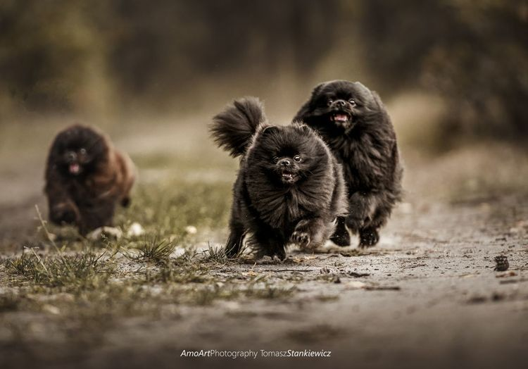 Pomeranians walk Friend Love Beauty Beautyful  EyeEm Selects Spitz Pomeranian Puppy Dog Dogs Friendship Run Runing Color Colors Autumn Pets Walking Walk Young Animal Pets Looking At Camera Animal Themes Paw Animal Leg Animal Limb Animal Hair Group Of Animals