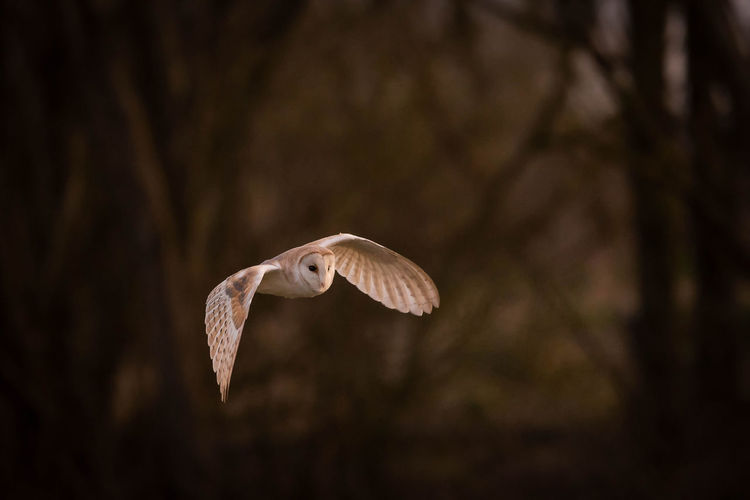 Close-up of barn owl flying
