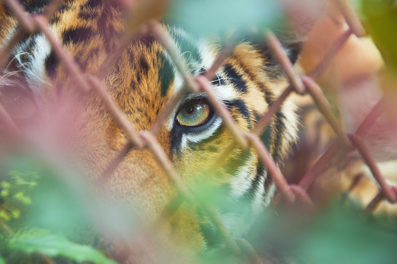 Close-up portrait of tiger against chainlink fence